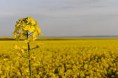 Detail of yellow rapseed (brassica napus) flower with rapeseed field — Stock Photo