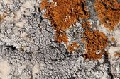 Orange and white moss fungus colonies on white rock — Stock Photo