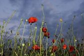 Red poppy (Papaveraceae) field with cloudy sky background — Stok fotoğraf
