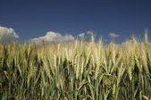 Golden corn field with blue sky and clouds — Stock Photo