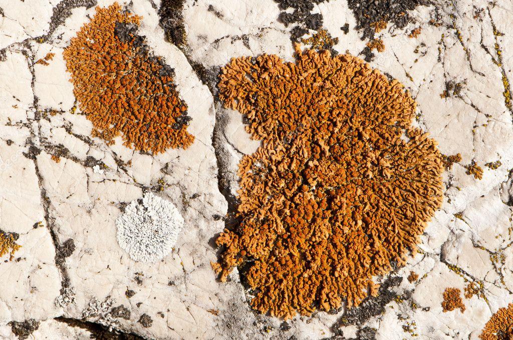 Colonie di muschio bianco e arancione su roccia bianca for Cabine di roccia bianca