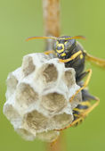 Wasp on the nest — Stock Photo