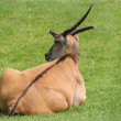 Alone eland — Stock Photo