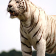 White tiger - Stock Photo