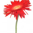 Stock Photo: Red flower over white