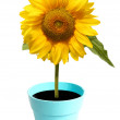 Beautiful sun flower on white — Stock Photo