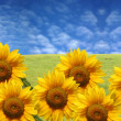 Stock Photo: Beautiful sunflowers with green grass and blue sky