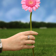 Daisy flower in pink - Stock Photo