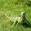 Green iguana - Stock Photo