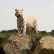 Wild white tiger - Stock Photo