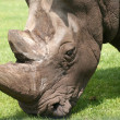 Stock Photo: Rhino portrait