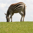Beautiful zebra - Stock Photo