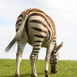 Back shot of zebra - Stock Photo