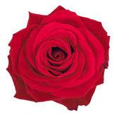 Beautiful rose over white — Stock Photo