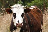 Krowa — Zdjęcie stockowe