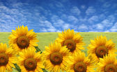 Beautiful sunflowers with green grass and blue sky — Stok fotoğraf
