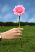 Daisy flower in pink — Stock Photo