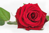 Beautiful rose close up — Stock Photo
