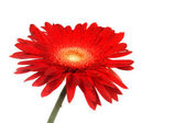 Red daisy — Stock Photo