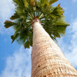Palm tree — Foto Stock