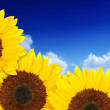 Beautiful sunflowers in a sunny day — Stock Photo #7705140