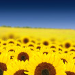 Beautiful sunflowers in a sunny day — Photo