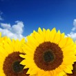Beautiful sunflowers in a sunny day — Stock Photo #7705563