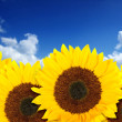 Beautiful sunflowers in a sunny day — Stock Photo