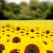 Stock Photo: Beautiful sunflowers in a sunny day