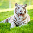 Beautiful tigger — Stock Photo #7708294