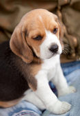 Little puppy — Stock Photo