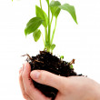 Royalty-Free Stock Photo: Hand holding a plant