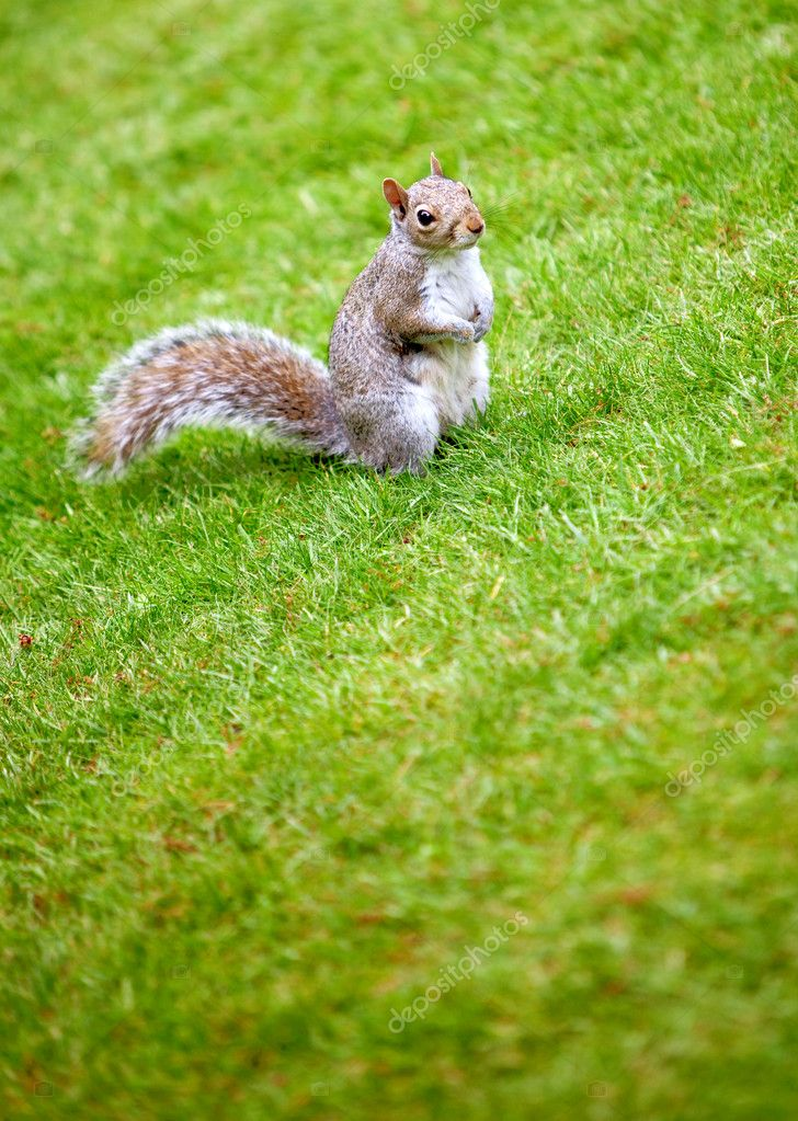 Little squirrel standing on grass outdoors at the park — Stock Photo #7746094