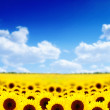 Sunflower field — Stock Photo #7754436