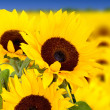 Stock Photo: Sunflowers in a field