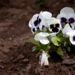 Foto Stock: Pansy flowers