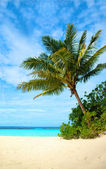 Palm tree in a tropical beach — Stock Photo