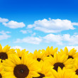 Stock Photo: Beautiful sunflowers