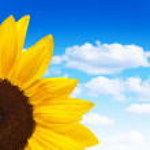 Beautiful sunflower — Stock Photo #7770270