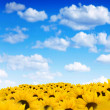 Field of sunflowers - Stock fotografie