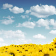 Field of sunflowers — Stock Photo #7771105