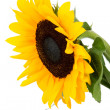 Beautiful sunflower over white — Stockfoto
