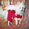 Stock Photo: White Pomeranidog with wings in woods