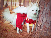 White Pomeranian dog with wings in the woods — Stock Photo