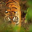 Slightly obscured tiger — Stock Photo