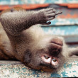 Monkey giving the finger — Stock Photo