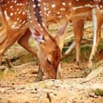 Deer grazing — Stock Photo #7658085