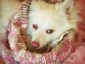 White dog wearing scarf — Stock Photo