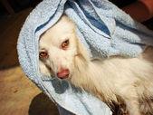 Dog bath time — Stock Photo