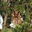 Stock Photo: With big ears owl on tree